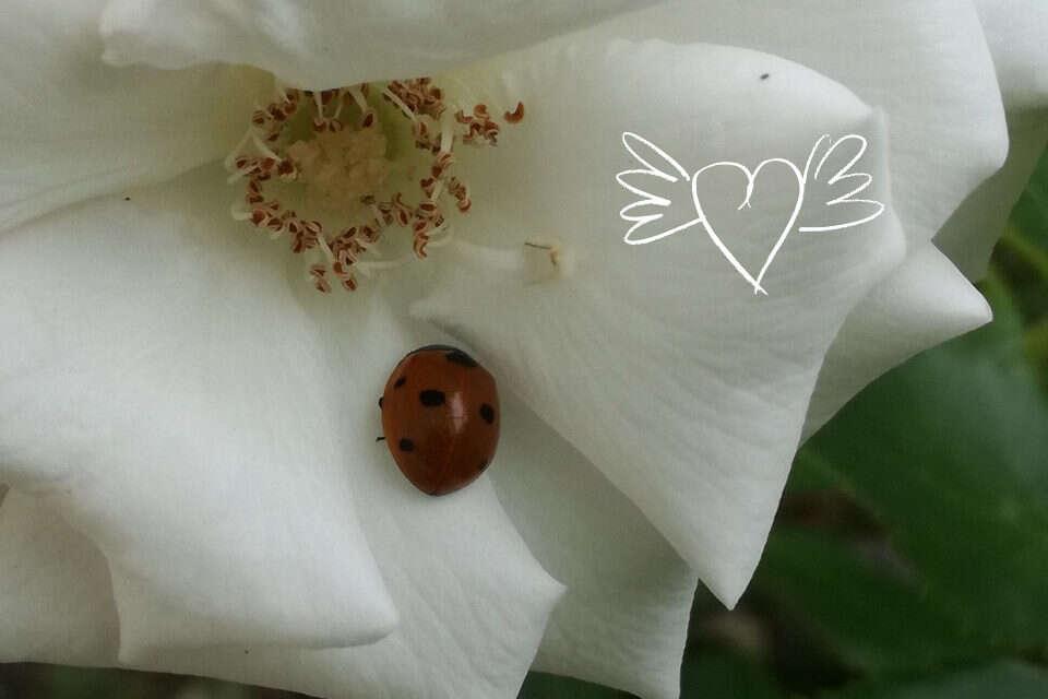 Rose mit Marienkäfer